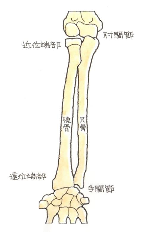 肘関節と手関節、橈骨と尺骨の仕組み