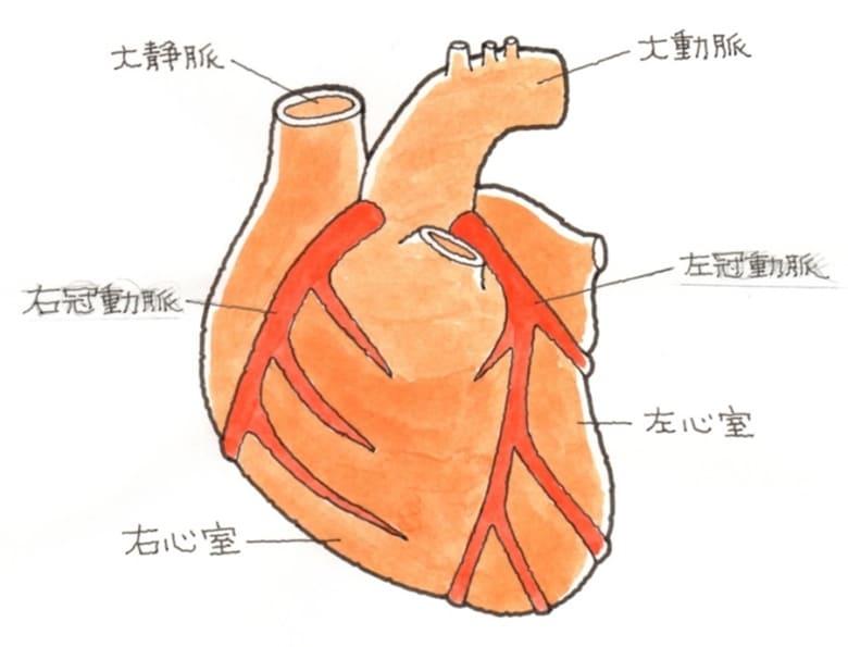 冠動脈の仕組み