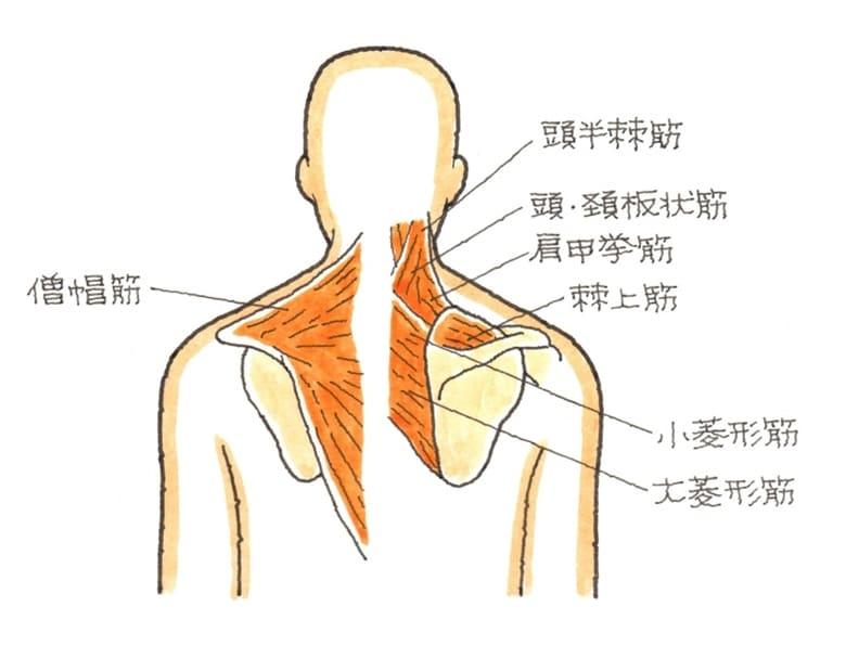 肩凝りに関与する筋肉