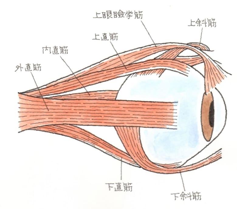 動眼神経麻痺の症状