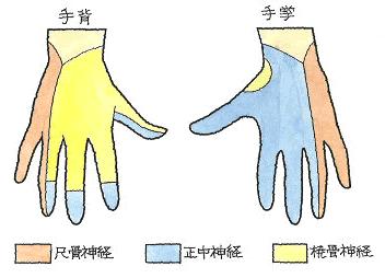 手指の神経支配領域