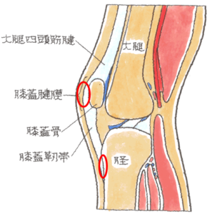 膝関節の断面イラスト